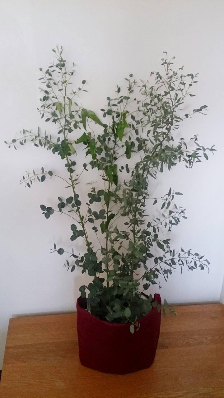 ユーカリの木